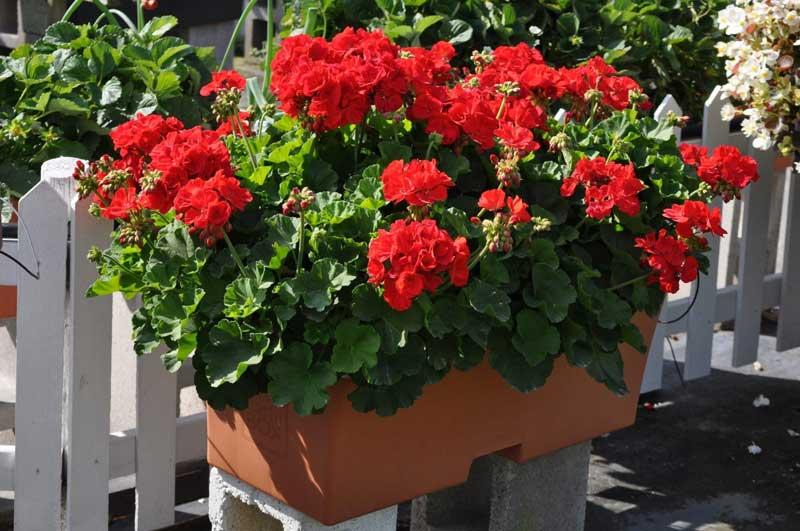 Earthbox Flowers